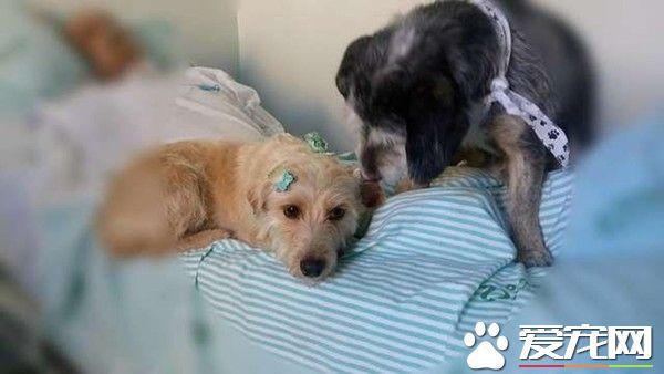 主人病重住院 两忠犬在医院门口默默久等
